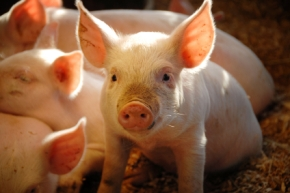 Starting in 1972, every March 1st is celebrated as National Pig Day.